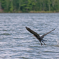 A Double-Crested Cormorant (Phalacrocorax auritus) takes flight above Lake of the Woods, Ontario, Canada.