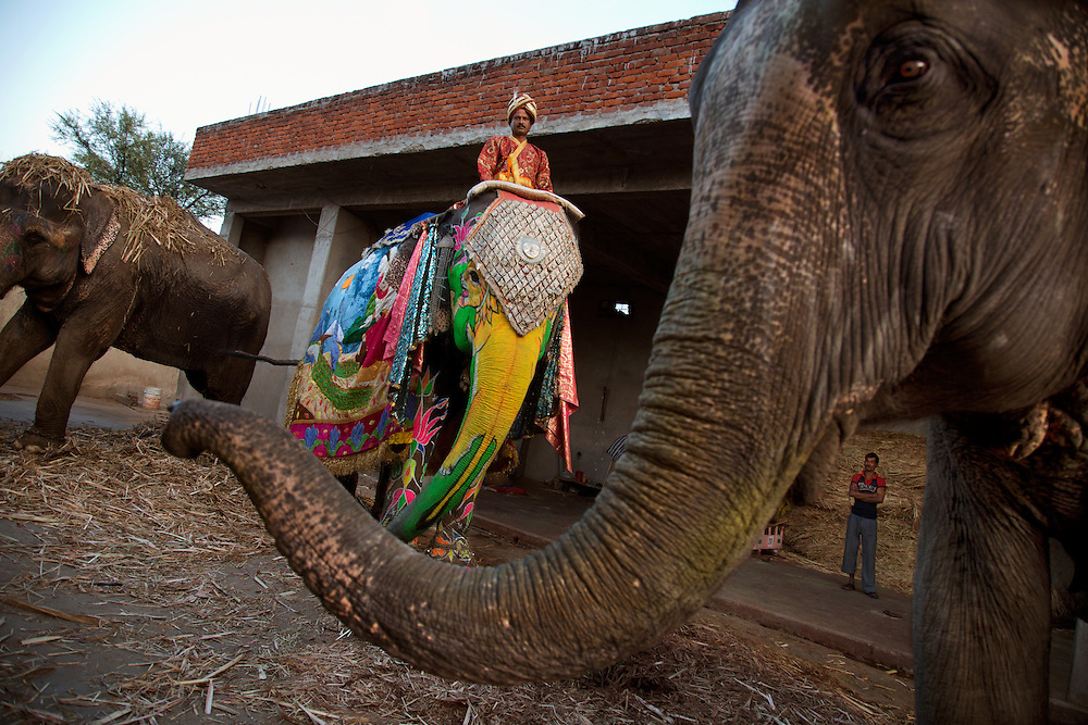 Benty Sharney mounts his elephant in the stable where they are kept. Mahouts, or elephant keepers, are commonly family professions, and the trainers are assigned an elephant early in its life. They remain bonded to each other throughout their lives. Elephants are the center of attention during Jaipur's Elephant Festival, celebrated during Holi. They are decorated with paint and ornaments, and the most beautiful elephants earn prizes.