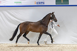 494, Nobel Prins<br /> KWPN Hengstenkeuring 2021<br /> © Hippo Foto - Dirk Caremans<br />  04/02/2021
