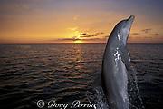 bottlenose dolphin, Tursiops truncatus, jumping at sunset, Anthony's Key Resort, Roatan, Bay Islands, Honduras ( Caribbean Sea )