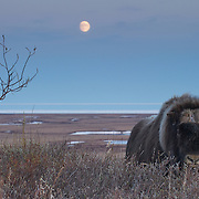 A large very old, solitary muskox bull with one horn pauses on the tundra with a rising moon. Alaska