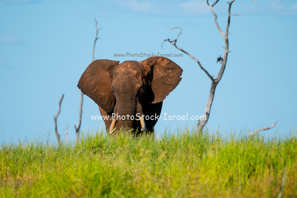 Solitary Male African elephant (Loxodonta africana). Elephants are herbivores and are the world's largest and heaviest land animals. Adult females and their young live in large social groups, whereas males lead largely solitary lives. Photographed lake Kariba along the Zambezi river, Zimbabwe.
