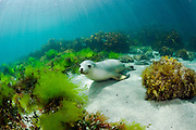 Rare and endangered Australian Sea Lion (Neophoca cinerea) swims and plays in the shallows of Hopkins Island, South Australia.