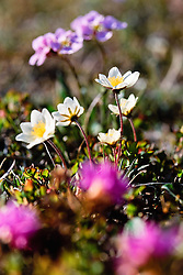 Wildflowers in Ivvavik National Park, Yukon