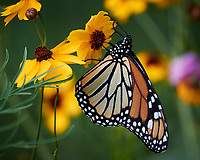 Monarch Butterfly on a Coreopsis Flower. Image taken with a Nikon 1 V3 camera and 70-300 mm VR lens.