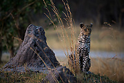 A female leopard, Panthera pardus, standing on a termite mound in the early evening.