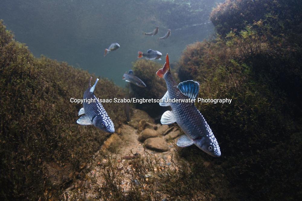 Alabama Shiner<br /> <br /> Isaac Szabo/Engbretson Underwater Photography