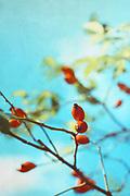 red fruits of a rose hip bush