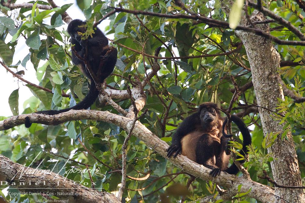 Mantled Howler or Golden-Mantled howler, Costa Rica.