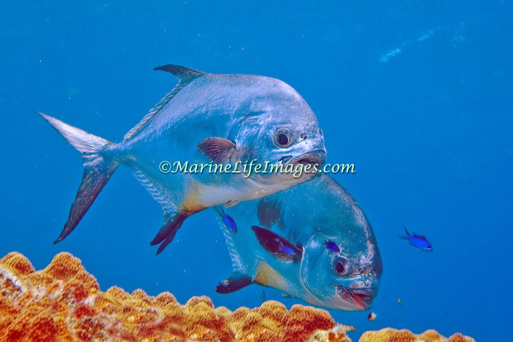 Permit inhabit open water in Tropical West Atlantic; picture taken Little Cayman.