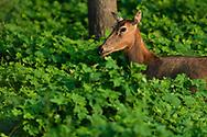 Female Père David's deer, or Milu, Elaphurus davidianus, Hubei Tian'ezhou Milu National Nature Reserve, Shishou, Hubei, China