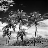 Coconut Trees, Havana, Cuba 2010