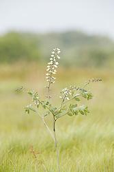 White Wild Indigo (Baptisia alba) wildflowers on the Daphne Prairie, a remnant of the Blackland Prairie, Mount Vernon, Texas, USA.
