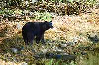Black Bear (Ursus americanus),   Thornton Creek, Ucluelet , British Columbia, Canada