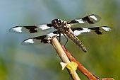 Eight Spotted Skimmer