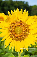 63801-11301 Sunflower in field Jasper Co.  IL