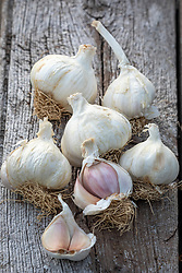 Allium sativum 'Solent Wight' - Garlic
