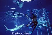 photographer James D. Watt uses camera equipment to push away a Galapagos shark, Carcharhinus galapagensis, off Haleiwa, North Shore, Oahu, Hawaii, USA ( Central Pacific Ocean )