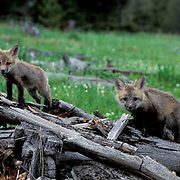 Red Fox, (Vulpus fulva) Pair of young pups on top of den of fallen logs. Spring.
