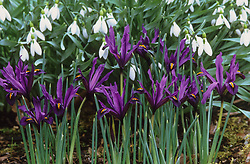 Iris 'J.S. Dijt' (Reticulata) in front of Galanthus gracilis