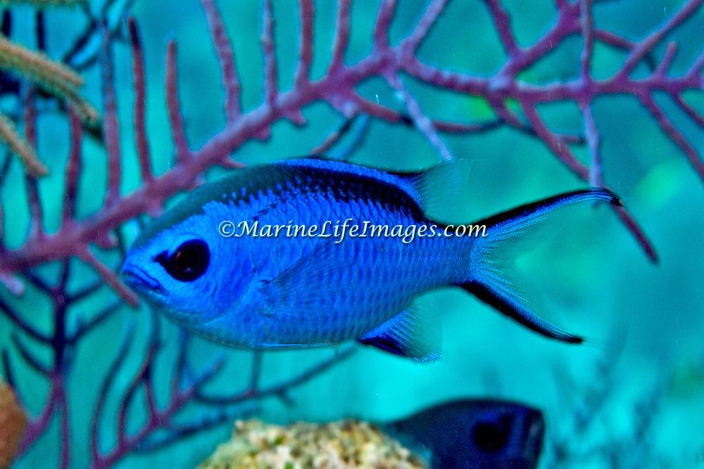 Blue Chromis inhabit reefs feeding in open water above, in Tropical West Atlantic; picture taken Grand Turk.