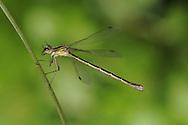 Scarce Emerald Damselfly - Lestes dryas