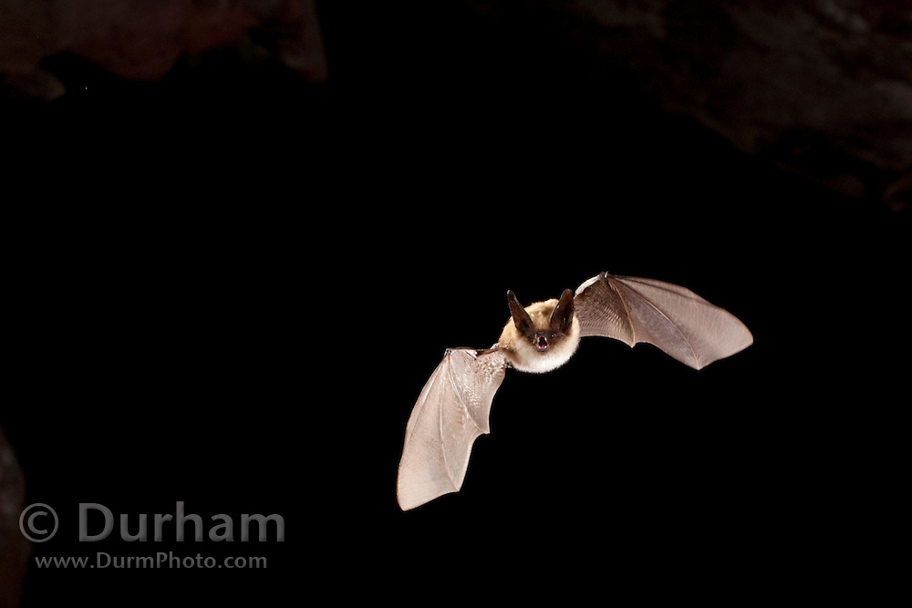 A western long-eared bat (mytis evotis) exits Pond Cave in Craters of the Moon National Monument, Idaho.