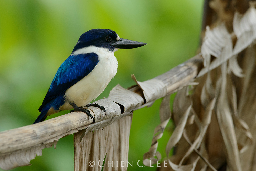 The Blue-and-white Kingfisher (Todiramphus diops) inhabits forest margins where it feeds on lizards and large insects. Halmahera, Indonesia.