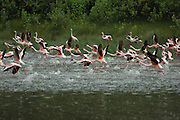 Kenya, lake naivasha, Kenya, Flamingos running on the water in preparation to take off