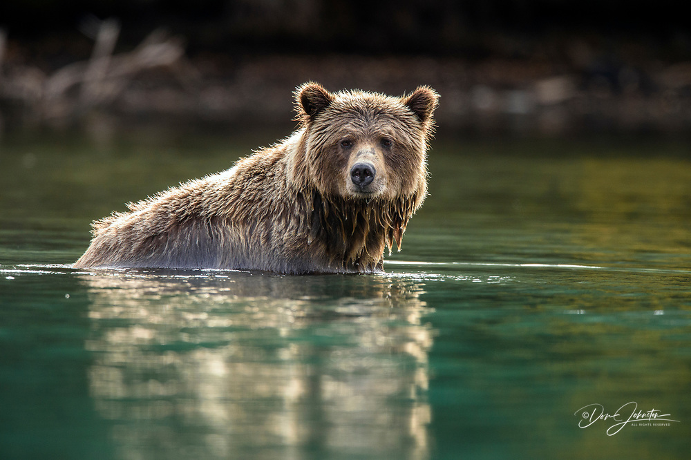 Grizzly bear (Ursus arctos)- Hunting for sockeye salmon in the Chilko River, Chilcotin Wilderness, BC Interior, Canada