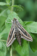 Silver-striped Hawk-moth - Hippotion celerio