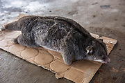 Cuscus bushmeat<br /> Local market<br /> Near Wamena<br /> Trikora Mountains<br /> West Papua<br /> Indonesia
