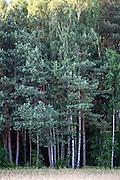 Impressive trees bordering the Polish National Forest. Zawady Central Poland