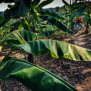 Andrew Whiteford rides single track through a forest of banana leaf trees near Chiang Mai, Thailand. (iPhone 6)