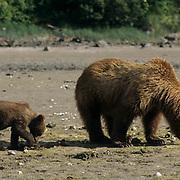 Alaskan Brown Bear, (Ursus middendorffi) Mother and cub digging for clams. Alaskan Peninsula.