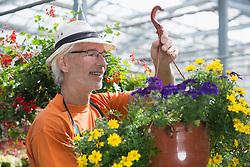 Male gardener arranging hanging basket in greenhouse, Augsburg, Bavaria, Germany