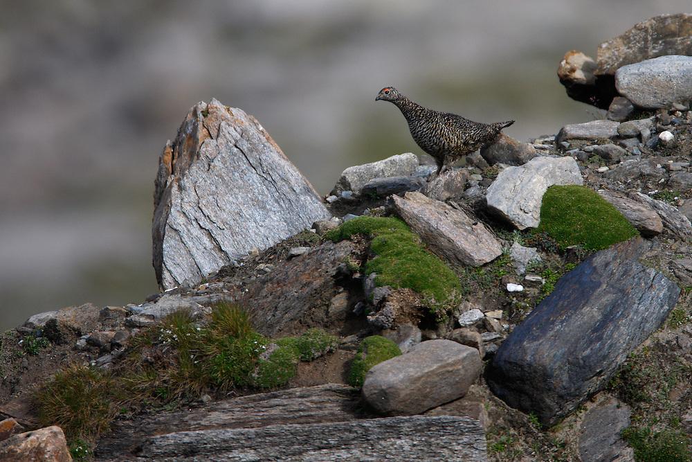 Rock Ptarmigan (Lagopus muta) , Hohe Tauern National Park, Carinthia, Austria