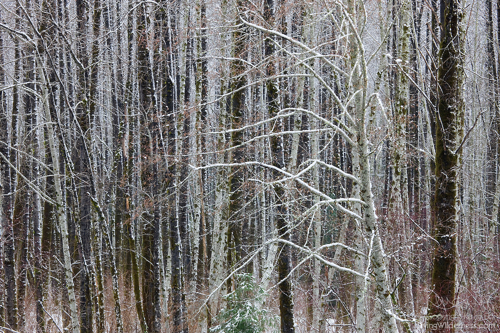 Fresh snow blankets a number of otherwise bare trees in a section of forest in the North Cascades of Washington state.