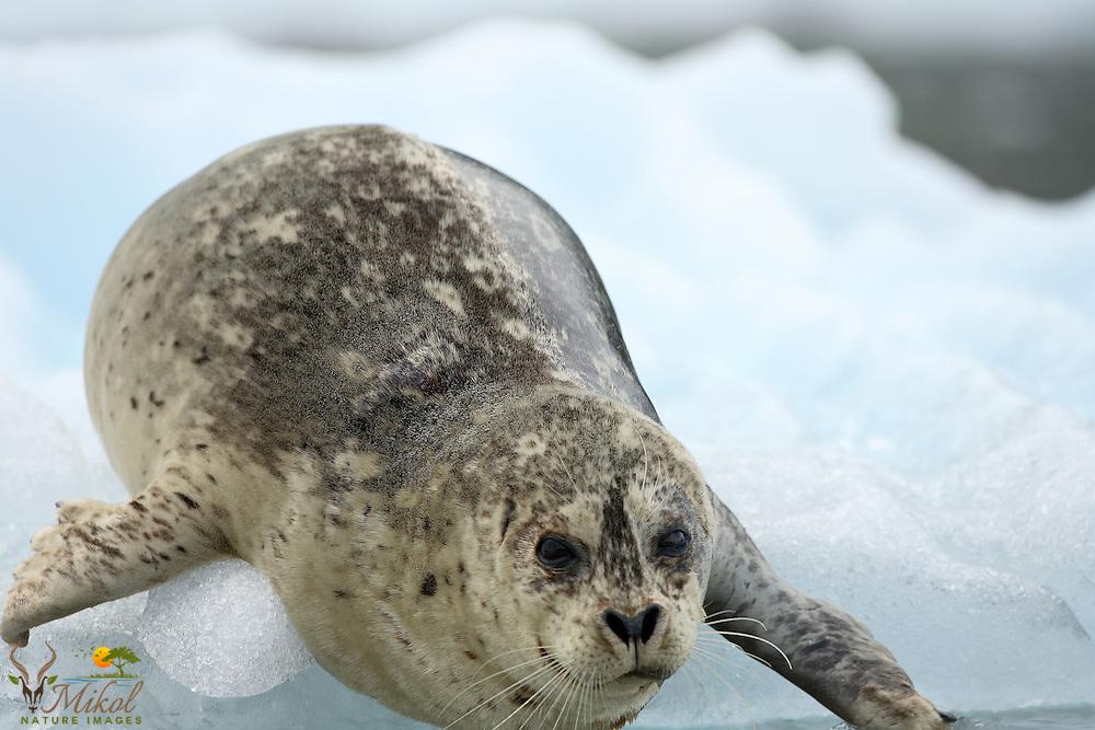 Harbor Seal entering water from glacier ice
