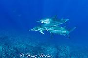 Hawaiian spinner dolphins or Gray's spinner dolphin or long-snouted spinner dolphin ( Stenella longirostris longirostris ) Kaupulehu, Kona Coast, Big Island, Hawaii ( Central Pacific Ocean )