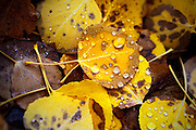 SHOT 9/27/12 11:43:20 AM - Morning showers leave water droplets on aspen leaves along the Lower Loop Trail in Crested Butte, Co. as aspen trees change colors while the fall foliage season comes to a peak in Colorado. Populus tremuloides, the Quaking Aspen or Trembling Aspen, is a deciduous tree native to cooler areas of North America and is generally found at 5,000-12,000 feet. The name references the quaking or trembling of the leaves that occurs in even a slight breeze due to the flattened petioles. It propagates itself by both seed and root sprouts, and extensive clonal colonies are common. Each colony is its own clone, and all trees in the clone have identical characteristics and share a root structure. (Photo by Marc Piscotty / © 2012)