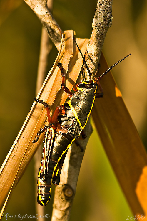 The Eastern Lubber Grasshopper (microptera), native the to southeastern and south central portion of the United States and reaching nearly 3 inches in size, now only exists in Florida and South Carolina