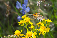 A male juba skipper pauses for a moment on a clump of asters on a windy spring day on Whiskey Dick Mountain in Central Washington just west of the Columbia River near Vantage. Similar in appearance to other related skipper species in the sagebrush deserts and plains of the northern western states, this one is dependent on certain native grasses for their young to eat.
