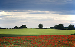July 21, 2019 - Field With Red Flowers, Yorkshire, England (Credit Image: © John Short/Design Pics via ZUMA Wire)