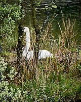 Mute Swan (Cygnus olor). Balloch, Scotland.  Image taken with a Nikon N1V2 camera and 10-100 mm VR lens.