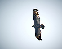 Turkey Vulture soaring. Image taken with a Nikon D4 camera and 600 mm f/4 VR lens (ISO 200, 600 mm, f/4, 1/640 sec)
