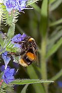 Buff-tailed Bumblebee - Bombus terrestris, on Viper's Buglos.