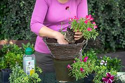Planting up a hanging basket.