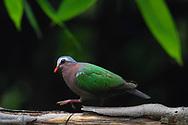 Asian Emerald Dove, or Grey-capped Emerald Dove, Chalcophaps indica, walking over a branch in Hong Bung He, Dehong, Yunnan, China