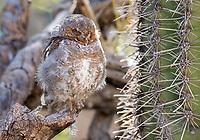 Elf Owl, Micrathene whitneyi, at the Arizona-Sonora Desert Museum, near Tucson, Arizona. (Captive)